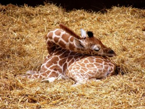 sleeping-giraffe