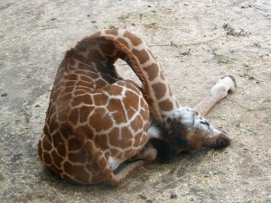 sleeping-giraffes