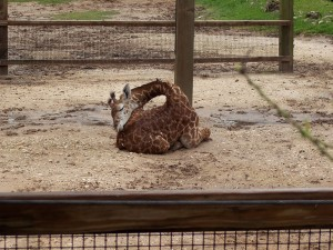 sleeping-giraffes-3__880