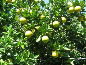 malta-one-type-of-fruits-hanging-from-tree-near-uttarkashi