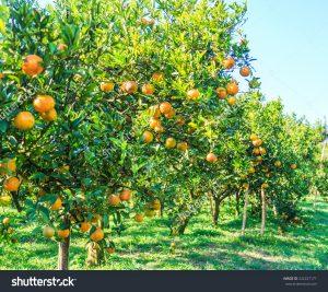 stock-photo-orange-tree-orange-farm-orange-park-242227171